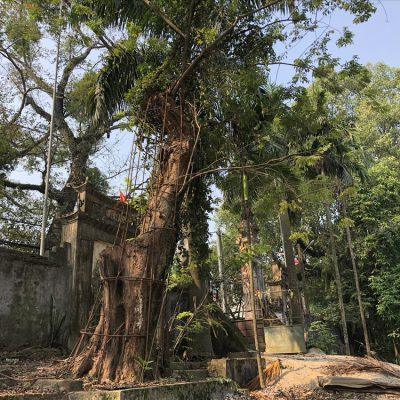 7 loại cây gỗ tươi quý hiếm bậc nhất thế giới