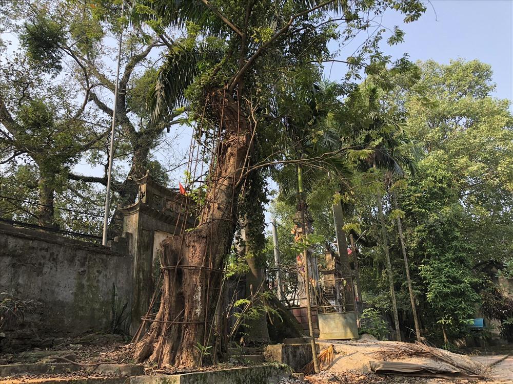 Cây sưa nghin năm tại Việt nam